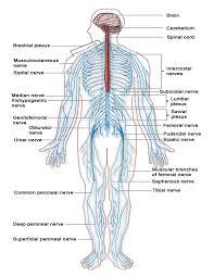 sensen clipart nervous system pencil and in color sensen clipart