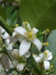 cuisine 騁hiopienne mariette s back to basics our citrus aurantifolia key lime