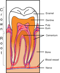 parts of a tooth worksheet teeth types of teeth parts of a