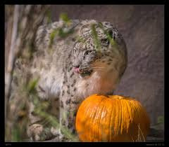 animals celebrate halloween at boo at the zoo sfgate