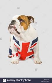 British Flag With Red A British Bulldog Wearing A Union Jack Vest And English Red Cross