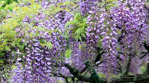 wisteria tree with purple flowers hd wallpaper for laptop computer