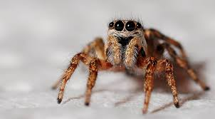 halloween jumping spider good vs bad spiders massey services inc