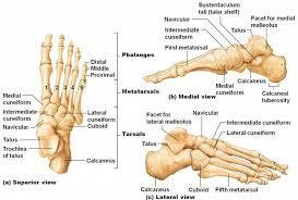 Anatomy Of The Calcaneus Calcaneus Bone Bone Disease