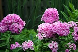 fleurs vivaces rustiques phlox plantation culture et entretien des phlox pratique fr