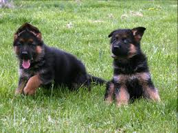 belgian shepherd kennels german shepherd puppies for sale world class breeders virgina