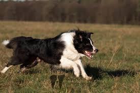 australian shepherd 4 monate gewicht größe und gewicht eurer aussies australian shepherd aussie de