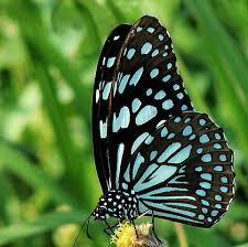 blue tiger butterfly blue tiger butterfly about butte flickr