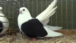 taganrog tumbler fancy pigeon