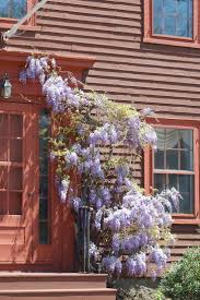 wisteria sinensis australian bush flower the 25 best wisteria plant ideas on pinterest wisteria tree