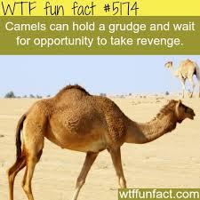 Camel Meme - never cross a camel meme by oli memedroid
