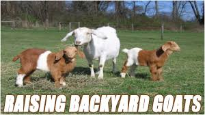 Backyard Cattle Raising Raising Backyard Goats For Beginners Youtube