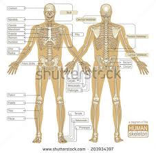 The Human Anatomy Pictures Human Anatomy Muslcles Stock Illustration 127096115 Shutterstock