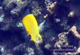Black Sand Beaches Maui by Longnose Butterflyfish Forcipiger Longirostris