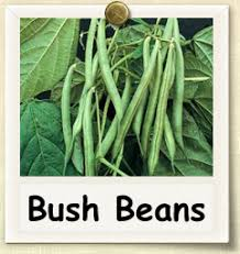 Types Of Garden Beans - how to grow bush beans guide to growing bush beans garden