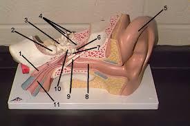 Human Ear Anatomy Quiz Head Archives Human Anatomy Chart