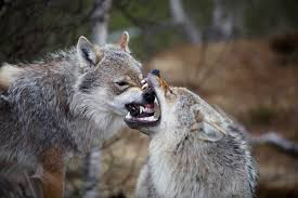 file wolves in norway jpg wikimedia commons