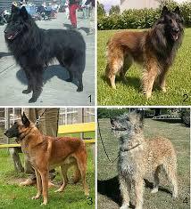belgian sheepdog varieties file 04 belgian shepherd dog varieties groenendael tervuren
