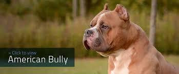 american pit bull terrier registry the american bully registry