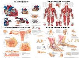 Anatomy And Physiology The Muscular System Human Anatomy And Physiology Lindastorm Net