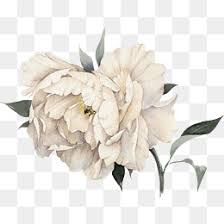 Peony Flowers Pink Peony Png Vectors Psd And Icons For Free Download Pngtree