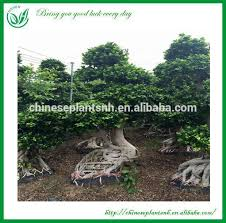 large outdoor bonsai trees large outdoor bonsai trees suppliers