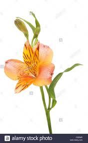 alstroemeria flower alstroemeria flower bud and leaves isolated against white stock