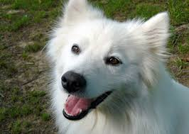 american eskimo dog apartment 11 american dog breeds today com