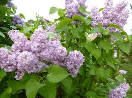 the lilacs of budapest an american in budapest