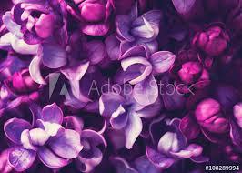 lilac flowers lilac flowers background buy this stock photo and explore
