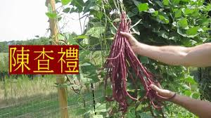 red noodle long beans chinese yard long pole bean trellis asian