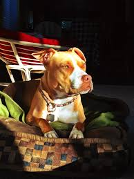 american pitbull terrier in bangalore 2497 best the beautiful pit bull images on pinterest animals