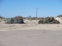 bellaire turning christmas trees into beach sand dunes to prevent