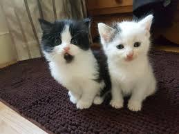 Beautiful Kittens | beautiful kitten gillingham kent pets4homes