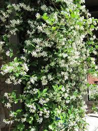star jasmine on trellis types of fragrant climbing plants hgtv