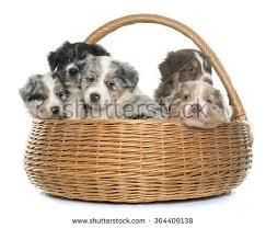 australian shepherd yorkie puppies very cute yorkie mix puppy sitting stock photo 89005582 shutterstock