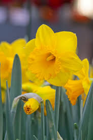 25 best planting daffodil bulbs ideas on pinterest daffodil