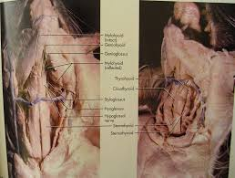 anatomy cat dissection muscles human anatomy system