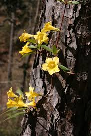 Fragrant Plants Florida - native florida wildflowers yellow carolina jessamine gelsemium