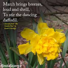 the iconic daffodil a dazzling sign that spring is replacing winter