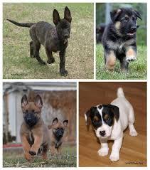 belgian sheepdog puppy cost german shepherd puppies dutch shepherd puppies belgian malinois