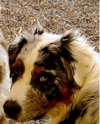 australian shepherd in spanish australian shepherd breed information history health pictures
