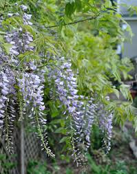 Trellis For Wisteria Growing With Plants How To Grow And Train A Wisteria Tree