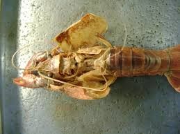 image detail for crayfish dissection image crayfish dissection