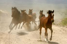 mustang horse running what will become of the wild horses bureau of land management