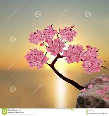 lush japanese sakura tree pink cherry on the stone against the