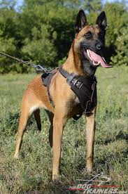 belgian shepherd labrador agitation protection attack leather dog harness perfect for