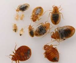 What Kills Bed Bugs And Their Eggs Jopestkil Kenya Guaranteed Bedbugs Control Services Residential