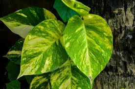 Buy House Plants Garden Perfect Houseplant For Your Home With Golden Pothos