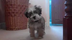 hair cuts for the tebelan terrier tibetan terrier puppy youtube